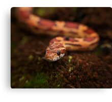 Red Corn snake, Animal Photography, Red, Reptile Canvas Print