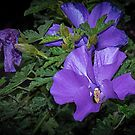 Purple Hibiscus flowers Leith Park Victoria 20160603 7077  by Fred Mitchell