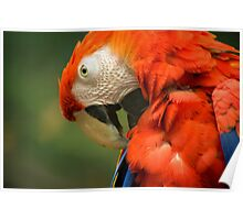 Red Parrot, the Scarlet Macaw – portrait Poster