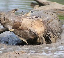Warthog - African Wildlife Background - Healing Mud Bath by LivingWild