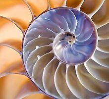 Chambered nautilus by Celeste Mookherjee