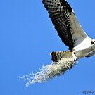 Osprey Building Nest (Pandion Haliaetus) by Jeff Ore