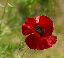 Red Poppy by stresskiller
