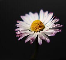 Common Daisy by Alan Harman