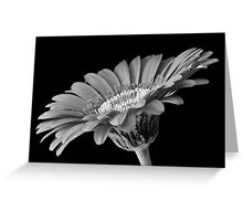 Black and white gerber daisy Greeting Card
