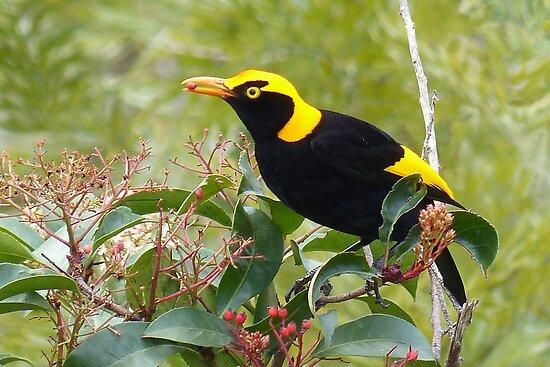 Regent Bowerbird, male by watchthebirdie