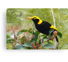 Regent Bowerbird, male Canvas Print