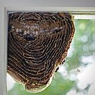 Inside of a Hornets Nest by Susan S. Kline