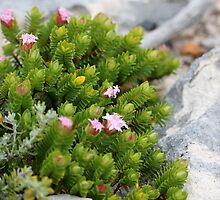 Pimelea in the Rocks by kalaryder