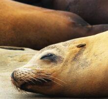 Harbor Seals Sticker