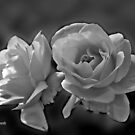 Light arrives with White Roses by Nira Dabush