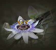 Passion Fruit Flower by Elaine Teague