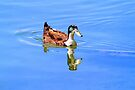Duck Reflected by Evita