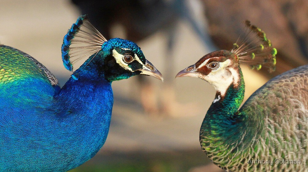Peacocks in Love!! by jozi1
