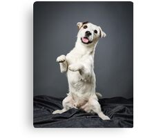 Jack Russell terrier male Canvas Print