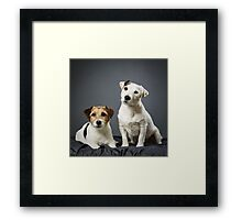 Jack Russell terrier male and female Framed Print