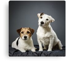 Jack Russell terrier male and female Canvas Print