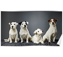 Jack Russell terrier family portrait Poster