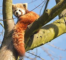 Red Panda at Birmingham Nature Centre  by Photography  by Mathilde