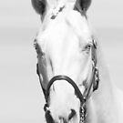 The Face of the Warmblood by Madcowontherun