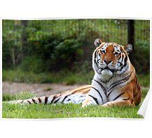 Amur Tiger (Siberian) Poster