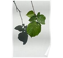 Sophisticated Shadows - Glossy Hazelnut Leaves on White Stucco - Vertical View Down Left  Poster