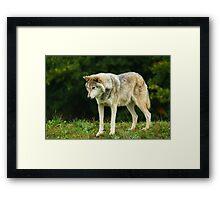 European Timber wolf Framed Print