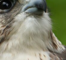 Saker Falcon Sticker