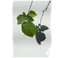 Sophisticated Shadows - Glossy Hazelnut Leaves on White Stucco - Vertical View Down Right Poster