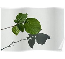 Sophisticated Shadows - Glossy Hazelnut Leaves on White Stucco - Horizontal View Right Upwards Poster