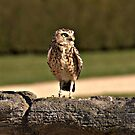 Burrowing Owl by Photography  by Mathilde