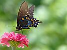 Pipevine Swallowtail by Susan S. Kline
