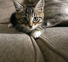 Sofa cat by GreyFeatherPhot