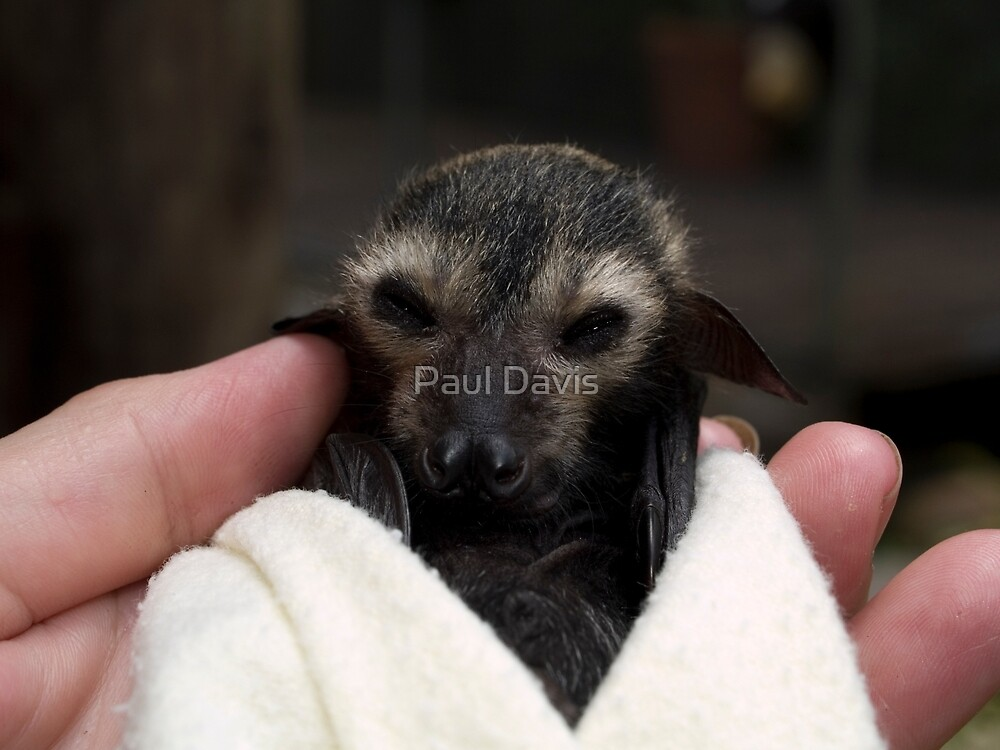 Baby Flying Fox - Bat Reach Centre - Kuranda - Queensland - Australia by Paul Davis