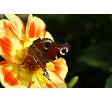 Peacock Butterfly on a Flower Photographic Print