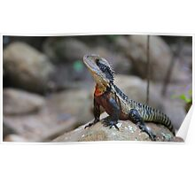 Water dragon, Blue Mountains Poster