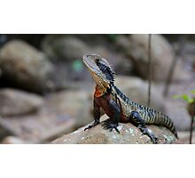 Water dragon, Blue Mountains Photographic Print
