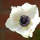 Angelic Anemone by BlueMoonRose