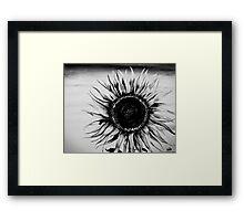 sunflower in black and white Framed Print