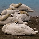 Swan Slumber by KatMagic Photography