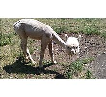 Cute, Hilarious Baby Alpaca Photographic Print