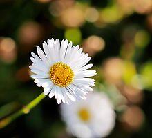 Daisies - Erigeron-karvinskianus by Susie Peek