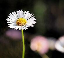 Daisies - Erigeron-karvinskianus 2 by Susie Peek
