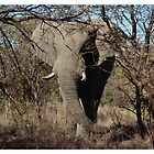 African Elephant by Shaun Swanepoel