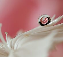 White dianthus with water drop refraction by sunraiphoto
