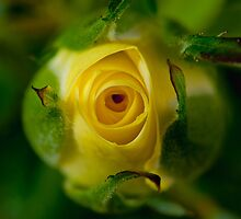 Yellow rose bud by sunraiphoto