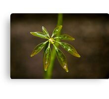 Schefflera plant leaves Canvas Print