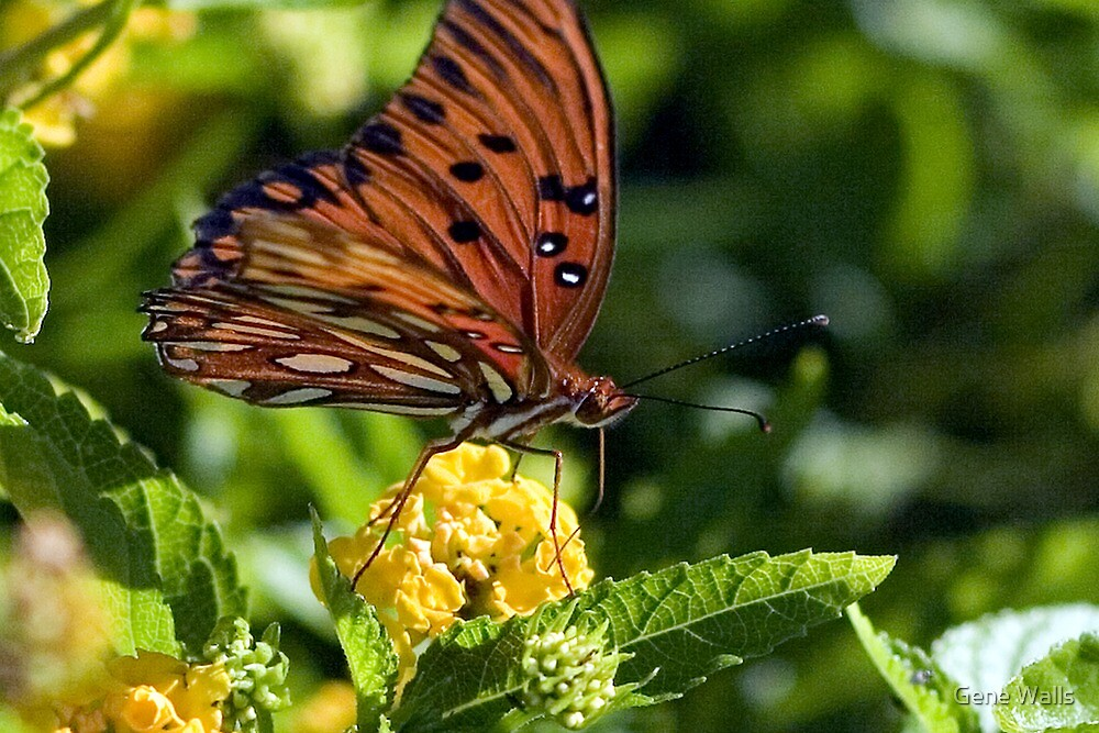 Gulf Fritillary Butterfly Fueling Up by Gene Walls