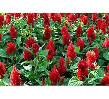 """Red Celosia Garden""  Photographic Print"