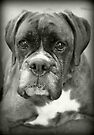Is That For Me?.... Boxer Dogs Series  by Evita